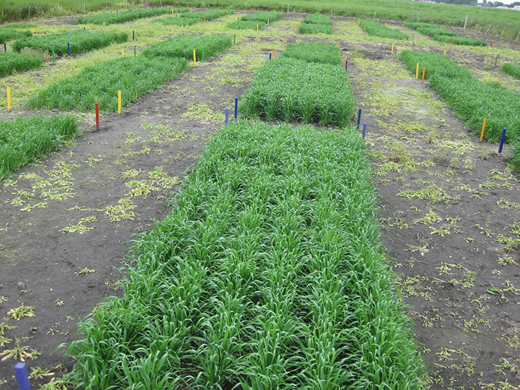 Barley crop growing on topsoil reconstructed using wood charcoal